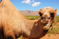 Bactrian camel in Mongolian Gobi desert Stock Images