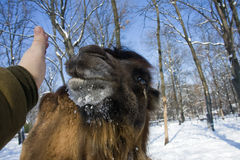 Bactrian camel and my hand. Portrait of a Bactrian camel (Camelus bactrianus stock image