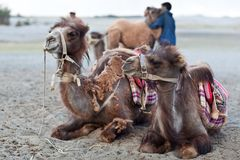 Bactrian camel in Nubra valley, Ladakh. NUBRA VALLEY, INDIA - JUNE 15: Group of camels with  Indian drover during Yuru Kabgyat festival on June 15, 2012 in Nubra Stock Photos