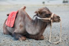 Bactrian Camel in Nubra valley, Ladakh, North India Stock Photo