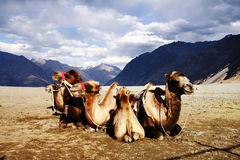 Bactrian camel at Nubra Valley stock image
