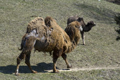 Bactrian Camel Pair. A photo of a Bactrian Camel and its offspring stock photo