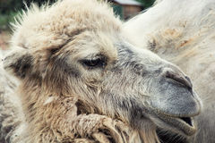 Bactrian camel portrait Royalty Free Stock Photography