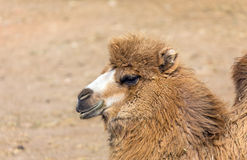 Bactrian camel portrait Stock Photos