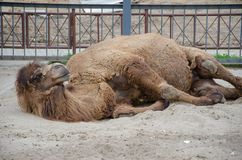 Bactrian camel resting on the ground. turning on its side stock image