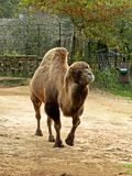 Bactrian camel at Riga zoological garden Royalty Free Stock Photography