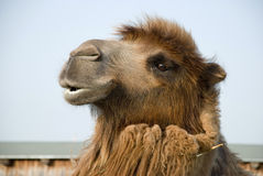 Bactrian camel's head. Profile view of a Bactrian camel's head Royalty Free Stock Images