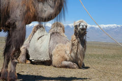 Bactrian camel saddled for riding Stock Image