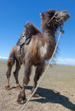 Bactrian camel saddled for riding Royalty Free Stock Image