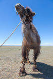 Bactrian camel saddled for riding Royalty Free Stock Photography