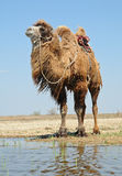 Bactrian camel saddled Royalty Free Stock Photo