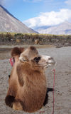 Bactrian camel sitting on the desert Stock Photography