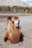 Bactrian camel sitting on the desert Royalty Free Stock Image