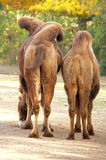 Bactrian camel Royalty Free Stock Photo