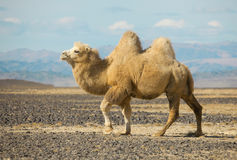 Bactrian camel in the steppes of Mongolia. True to transport a nomad Royalty Free Stock Photos