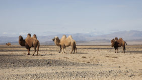 Bactrian camel in the steppes of Mongolia Royalty Free Stock Images