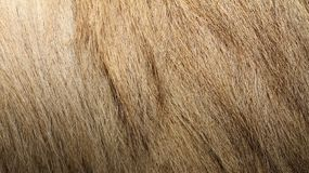 Bactrian camel textured fur Royalty Free Stock Photos