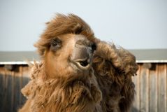 Bactrian camel. The upper part of a Bactrian camel Royalty Free Stock Image
