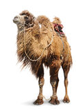 Bactrian camel on white background Stock Photo