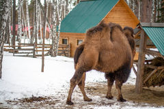 Bactrian camel in the winter Royalty Free Stock Photos
