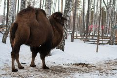 Bactrian camel in the winter Stock Photos