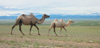 Bactrian camels Stock Images