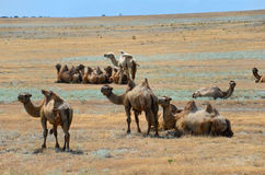 Bactrian camels Royalty Free Stock Photography