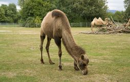 Bactrian Camels Stock Photos