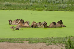 Bactrian Camels in Algae Pond. Several Bactrian Camels immersed in neon green algae pond at Minnesota Zoo stock photo