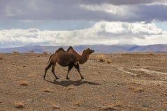 Bactrian camels, backlit Stock Photos