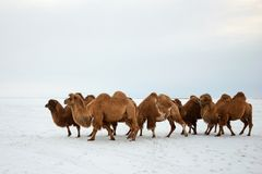 Bactrian Camels Camelus Bactrianus In Winter. Royalty Free Stock Photography