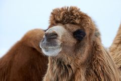 Bactrian Camels Camelus Bactrianus In Winter. Stock Image