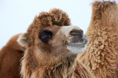 Bactrian Camels Camelus Bactrianus In Winter. Royalty Free Stock Photos