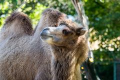 Bactrian camel, Camelus bactrianus in a german zoo royalty free stock image