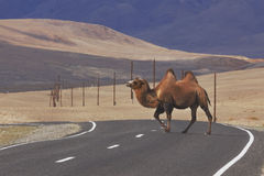 Bactrian camels crossing the road Royalty Free Stock Image