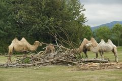 Bactrian Camels at fed Royalty Free Stock Photos