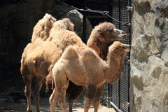 Bactrian camels gaze beyond the fence. A Bactrian mother camel and her baby gaze beyond the fence at the Cincinnati Zoo Royalty Free Stock Images