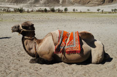 Bactrian camels in Himalayas. Hunder village, Nubra Valley, Indi Royalty Free Stock Photo