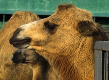 Bactrian camels. Looking sadly into the distance Royalty Free Stock Image