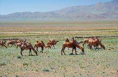 Bactrian camels in mongolian stone desert in Mongolia royalty free stock image