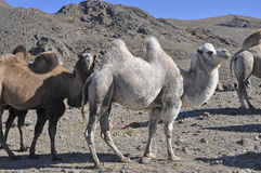 Bactrian camels. In the mountains Royalty Free Stock Images