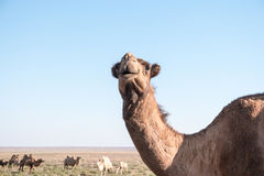 Bactrian camels near the road Royalty Free Stock Photos