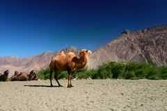 Bactrian Camels on the  Nubra Valley Stock Photography