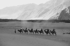Bactrian camels of Nubra Valley royalty free stock photo