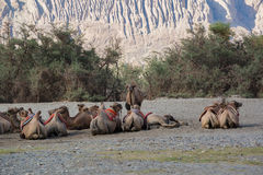 Bactrian camels in Nubra Valley, Ladakh, Jammu and Kashmir, Indi Royalty Free Stock Photo