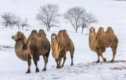Free Bactrian Camels Walking In A The Winter Landscape Of Northern Mo Royalty Free Stock Images - 112509599