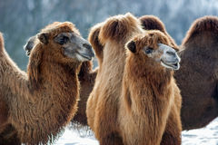Bactrian Camels walks in the snow Stock Image