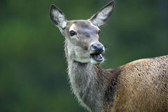 Bactrian deer (Cervus elaphus bactrianus) Royalty Free Stock Photography