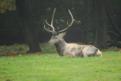 Bactrian deer Royalty Free Stock Image