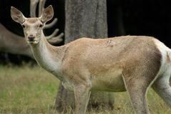Bactrian deer Stock Image